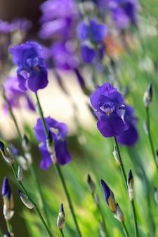 Blaue irisblumen im frühlingsgarten (fokus auf eine blühende knospe) vertikales foto