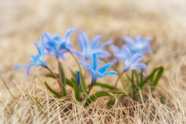 Blaue kleine primelblume des frühlings im gelben trockenen gras