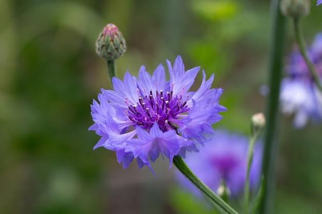 Blaue kornblume (centaurea cyanus) auf einem natürlichen grünen gemüsehintergrund im garten oder auf dem feld. hintergrund für postkarten. das banner. hintergrundbild oder bildschirmschoner für ihr telefon.
