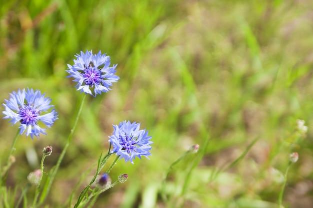 Blaue kornblume (centaurea cyanus) blüht auf einem hintergrund des schönen abendlichts. wildblumen-kornblumen-makro, selektiver fokus