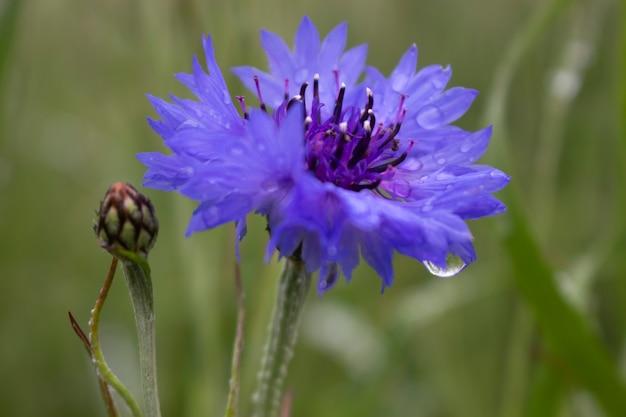 Blaue kornblume in einem feld mit tropfen auf grünem hintergrund