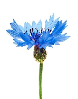 Blaue kornblume isoliert auf weißem hintergrund