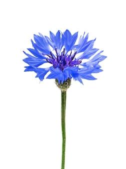 Blaue kornblume lokalisiert auf weißem hintergrund.