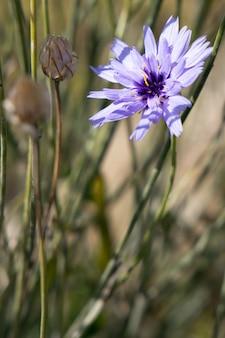 Blaue kornblume wächst neben der promenade in eastbourne