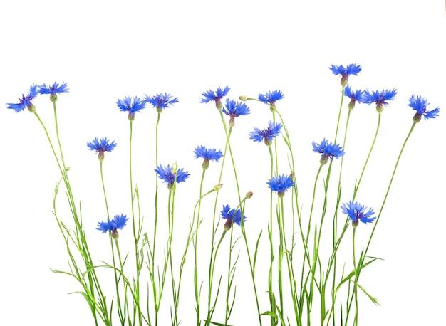 Blaue kornblumen auf weißem hintergrund