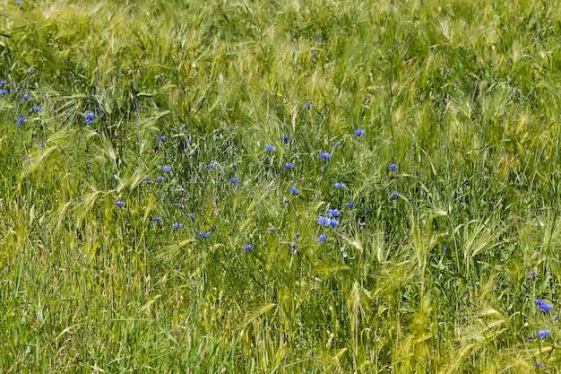 Blaue kornblumen im sommer, blaue blumen, die im sommer auf den feldern wachsen