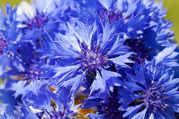 Blaue kornblumen im sommer Premium Fotos