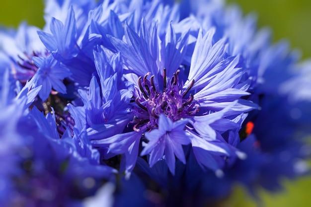 Blaue kornblumen im sommer