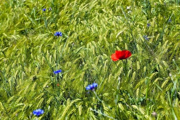 Blaue kornblumen wachsen auf einem landwirtschaftlichen gebiet, blaue kornblumen im sommer Premium Fotos
