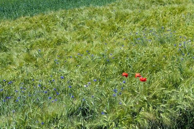 Blaue kornblumen wachsen im sommer