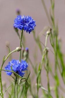 Blaue kornblumen wachsen in einem garten in east grinstead
