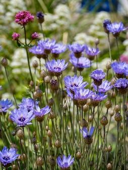 Blaue kornblumen wachsen neben der promenade in eastbourne