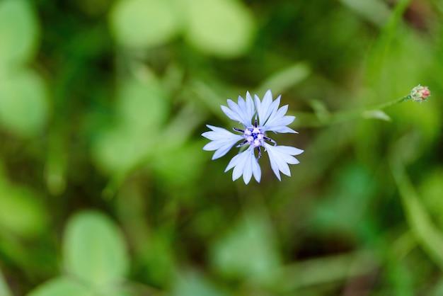 Blaue kornblumenblume auf einem hintergrund des grases an einem sonnigen sommertag. eine kornblume wuchs auf einer wiese
