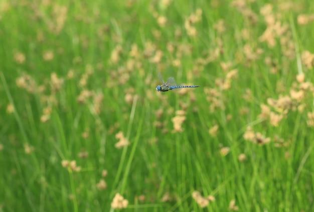 Blaue libelle im flug