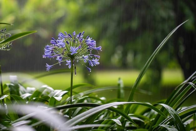 Blaue lilienblume während des tropischen regens