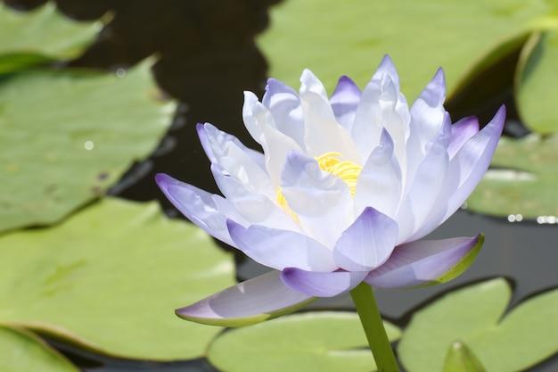 Blaue lotusblüten oder seerosenblüten, die auf teich blühen