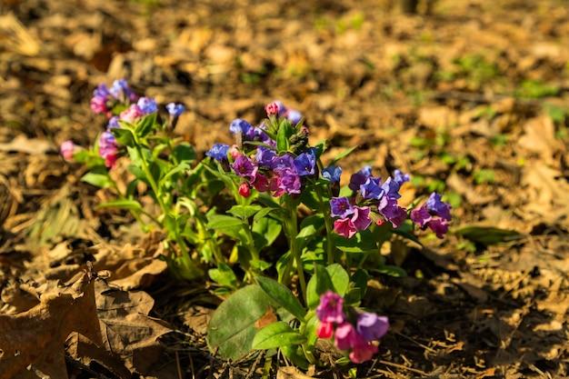 Blaue purpurrote blumen lungwort pulmonaria auf natürlichem hintergrund des frühlingswaldes. nahansicht. selektiver weichzeichner. geringe schärfentiefe. textkopierraum.