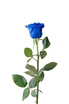Blaue rose isoliert auf weißem hintergrund