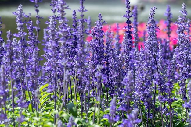 Blaue salvia-blume und grünes blatt im garten am sonnigen sommer- oder frühlingstag.