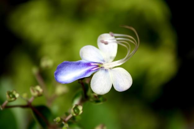 Blaue schmetterlingsblume rotheca myricoides