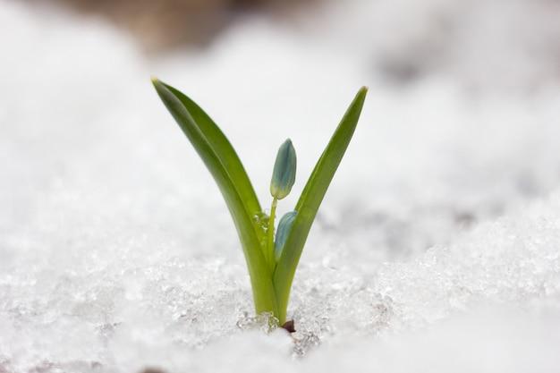 Blaue schneeglöckchen, die erste blume des frühlings, blaue wildblumen im wald