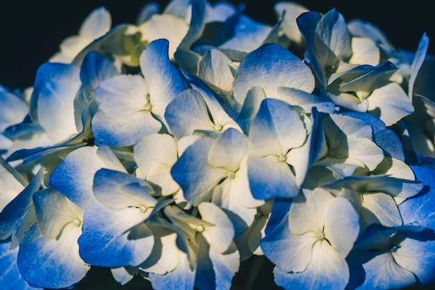 Blaue schöne hortensieblumen im regen