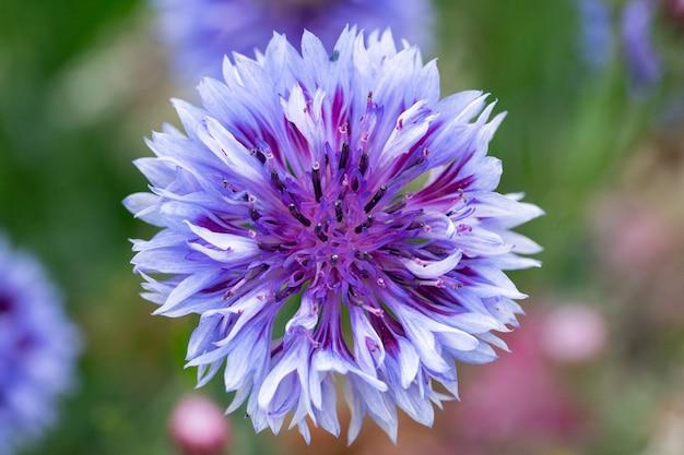 Blaue schöne kornblumenblumennahaufnahme. von oben betrachten.