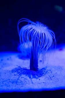 Blaue seeanemone im aquarium