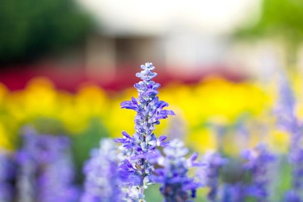 Blaue silvia-blumenblüte im garten.