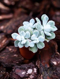 Blaue sukkulentenpflanze im braunen kleinen topf unter holzrinde im garten