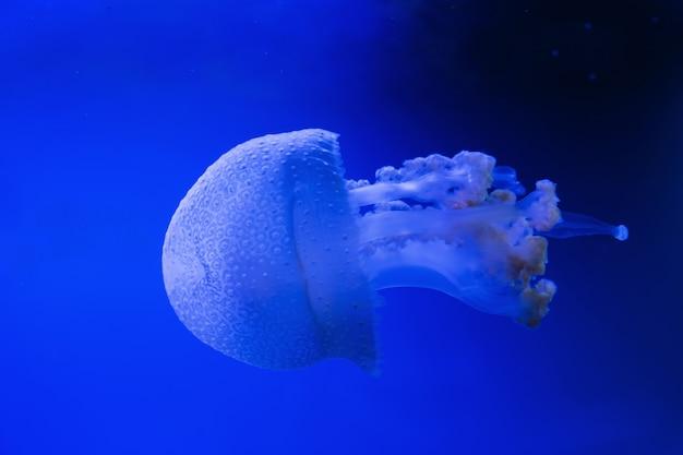 Blaue transparente quallen schweben durch wasser auf einem blauen hintergrund. weißfleckige quallen