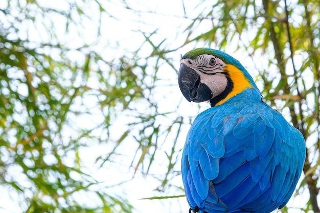 Blaue und gelbe keilschwanzsittiche (ara ararauna) und weißer himmel