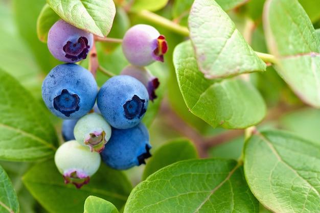 Blaue und grüne blaubeeren auf busch nahaufnahme, stock-foto