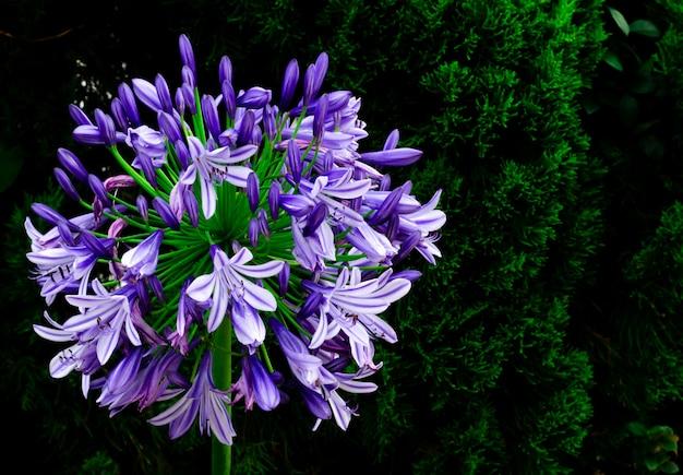 Blaue und purpurrote farbafrikanische lilie (blaue lilie des kaps) blühend im garten mit dunklem hintergrund der kiefer.