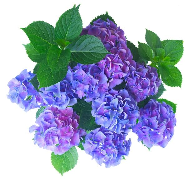 Blaue und violette frische hortensienblumen mit grünem blattbusch lokalisiert auf weiß