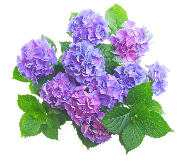Blaue und violette frische hortensienblumen mit grünen blättern lokalisiert auf weißem hintergrund