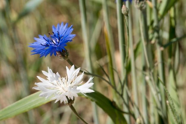 Blaue und weiße seltene albino-kornblume im weizenfeld