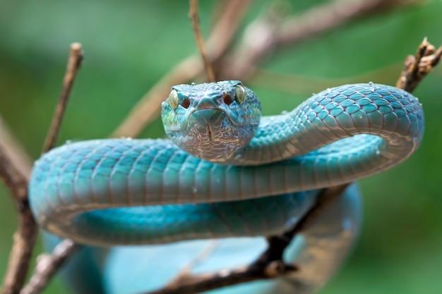 Blaue vipernnatter auf ast vipernnatter blue insularis