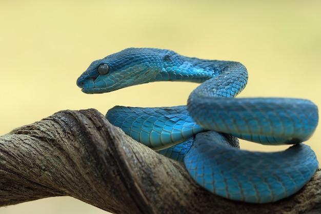 Blaue vipernschlange auf einem ast, bereit zum angriff