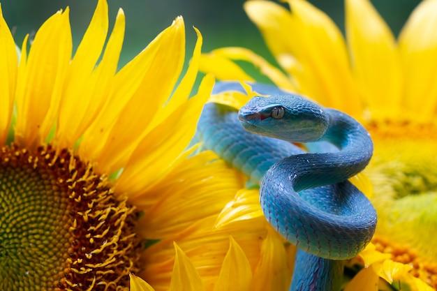 Blaue vipernschlange auf sonnenblume
