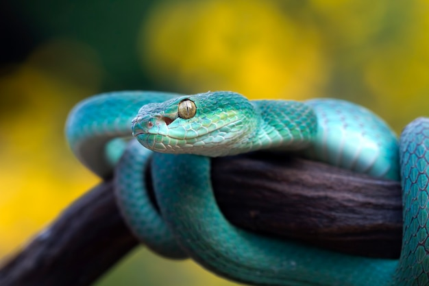 Blaue vipernschlange auf zweig