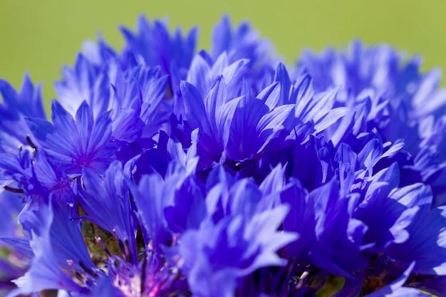 Blaue wildblumen kornblumen in einem feld mit grünem gras, frühling oder sommer