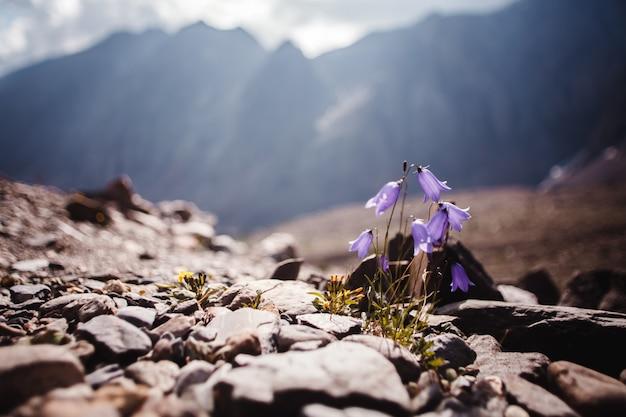 Blaue zerbrechliche gebirgsblumennahaufnahme. vor dem hintergrund von sonnenlicht und bergen