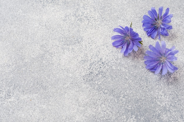 Blaue zichorienblumen auf einer grauen tabelle. kopie des raumes.