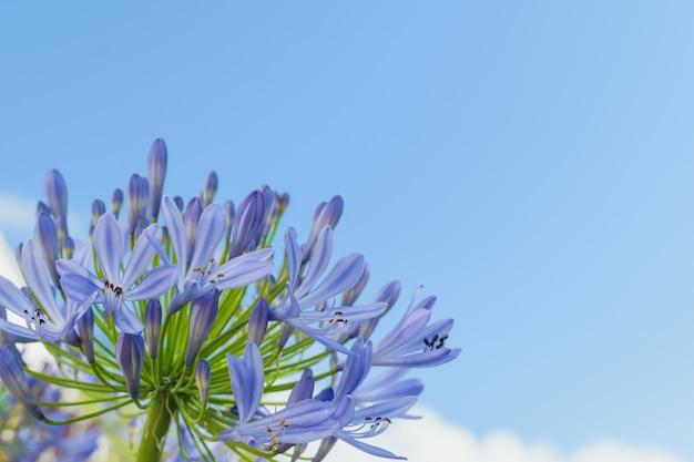 Blauer agapanthus am himmel