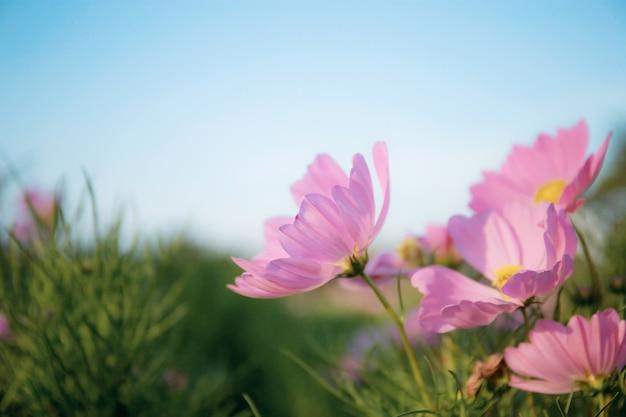 Blauer himmel des rosa kosmos.