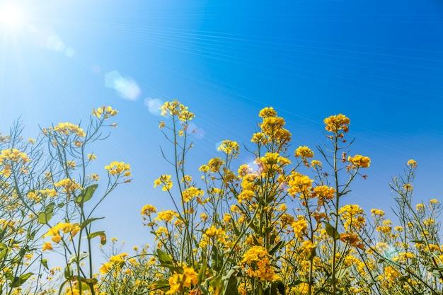 Blauer himmel und gelbe rapssamenblumen