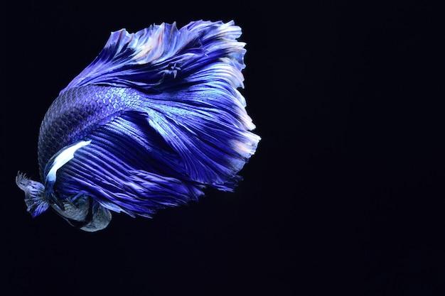 Blauer kampffisch.
