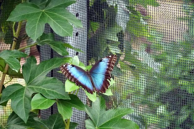 Blauer morpho-schmetterling thront mit offenen flügeln auf einem blatt nahe einem netz