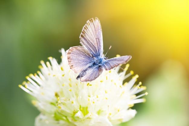 Blauer schmetterling, auf einer blume, frühlingsinsekt